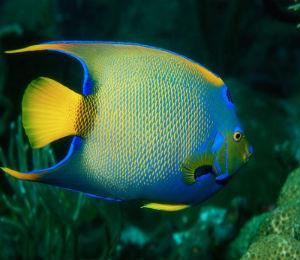 Bahamas queen angelfish bahamas snorkeling tours for Queen angel fish