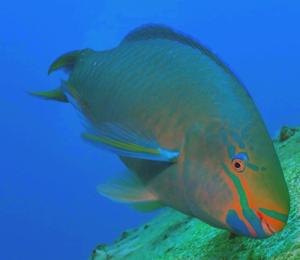 Bahamas Parrotfish