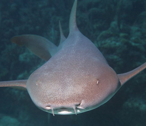 Bahamas Nurse Shark