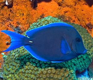 Bahamas Blue Tang