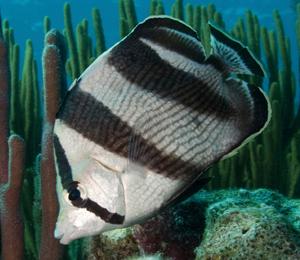 Bahamas Butterflyfish