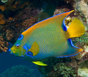 Bahamas angelfish bahamas snorkeling tours for Fishing nassau bahamas