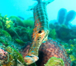 Bahamas Trumpetfish