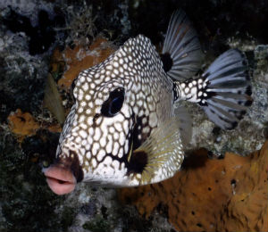 Bahamas Smooth Trunkfish
