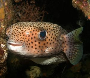Bahamas Porcupinefish