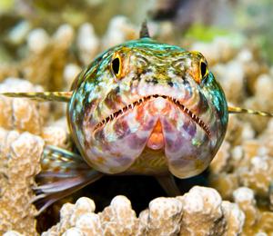 Bahamas Sand Diver